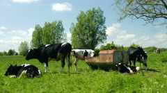 Herd of cows is resting on a meadow next to a feeder Stock Footage
