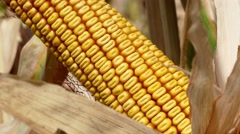 Grains of ripe corn Stock Footage