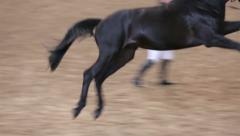 The owner shows his thoroughbred horse. - stock footage