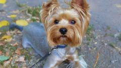 Cute Yorkshire Terrier Dog, 1 Year Old. Small Dog Stock Footage