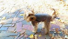 Autumn leaves on tail of cute funny small dog Stock Footage