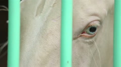 Close-up of white thoroughbred horse with turquoise eyes in the stall. Stock Footage