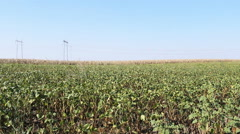 Soybean field and electric poles 2 Stock Footage