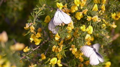 Butterfly takes honey on a blossom shrub Stock Footage