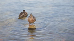 Two ducks in a lake Stock Footage