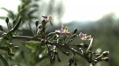 Goji berry plantation farm.Close up growing flower and fruit - stock footage