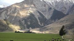 Mountains and cows near Castle Hill. South Island. New Zealand Stock Footage
