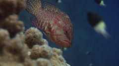 Coral grouper swims along colourful reef, Red Sea, Egypt Stock Footage
