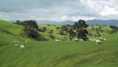 Grazing sheeps. New Zealand - stock footage