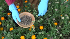 Farmer picking seeds of marigold in herb garden Stock Footage