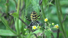 Wasp spider hunting in  cobweb Stock Footage