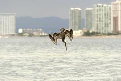Pelican Diving Flying Stock Photos