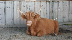 Stock Video Footage of Highland cattle. Scottish cattle breed. Cow