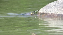 Painted turtle crawls onto river rock wildlife nature animal Stock Footage