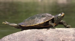 Painted turtle stretches on rock while soft shell turtle climbs on rock Stock Footage