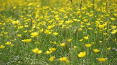 Meadow buttercups Stock Footage