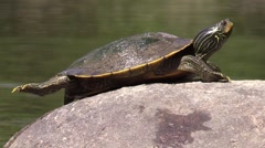 Painted turtle turns to face camera while sitting on river rock Stock Footage