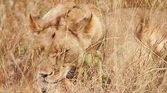 Lioness sleeping in the grass, Masai Mara - stock footage