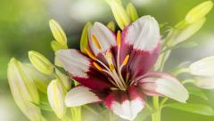 White Lily Flower blooming In Time-Lapse 4K Stock Footage