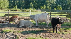 Cows on a farm. Agriculture. Farm animals Stock Footage