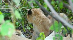 Lion cup, Masai Mara Stock Footage
