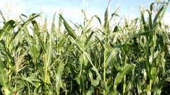 Corn crops moving in the wind Stock Footage