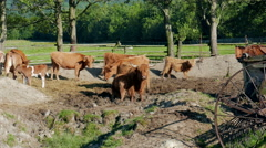 Cows on a farm. Agriculture. Farm animals - stock footage