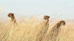 Male cheetahs in Masai Mara Stock Footage
