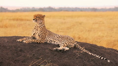 Male cheetah in Masai Mara Stock Footage