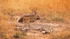 Cheetahs in Masai Mara Stock Footage