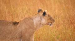 Female lion in Masai Mara Stock Footage