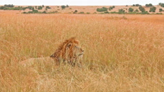 Stock Video Footage of Male lion in Masai Mara