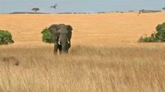 Elephant in Masai Mara - stock footage