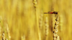 dragonfly sitting on a wheat ear - stock footage