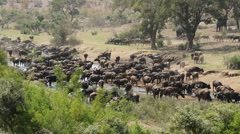 African buffalo herd, safari, Kruger National Park, South Africa Stock Footage