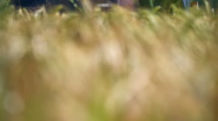 The wheat field in nature Stock Footage