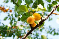 Ripe apricots growing on the apricot tree Stock Photos