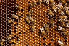 Close up view of the working bees and collected pollen in the honeycomb. - stock photo