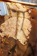 Working bees on the yellow honeycomb with sweet honey. Stock Photos