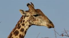 Giraffe with oxpecker birds, wildlife safari, Kruger National Park, South Africa Stock Footage