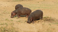Hippopotamus in land, wildlife safari, Kruger National Park, South Africa Stock Footage