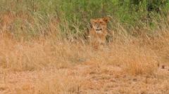 Female lion yawning, Masai Mara Stock Footage