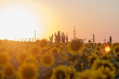 Defocused sunset over sunflowers Stock Photos