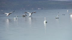 A flock of white pelicans land spectacular in the water of the lake Stock Footage