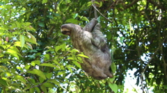 Sloth Reaching For Leaves in Tree - stock footage