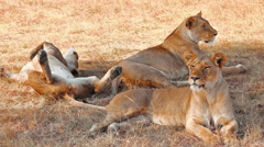 Lionesses in Masai Mara Stock Footage
