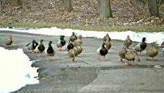 Wild ducks run on asphalt pavement to camera in a park in winter Stock Footage