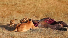 Lioness and cub eating buffalo corps Stock Footage