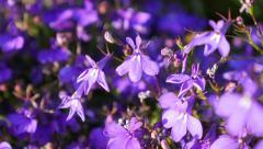 Shallow DOF  Lobelia erinus purple garden decorative flower slow moving  4K 2 Stock Footage