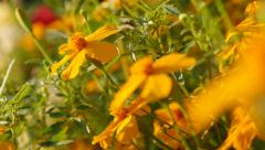 Shallow DOF orange Tagetes tenuifolia garden flower 4K 3840X2160 UltraHD slow Stock Footage